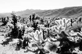 Garden Art For Sale Photo Print Of Cholla Cactus Garden Joshua Tree National Park