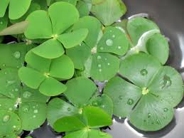 australian native aquatic plants marsilea mutica rainbow nardoo water clover suncoast tropicals