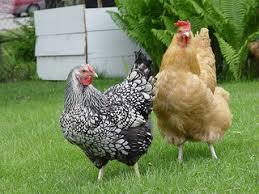 best backyard chicken top 10 breeds for raising backyard chickens
