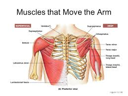 Shoulder And Arm Muscles Anatomy Muscles Of The Shoulders Arm And Hand Ppt Download