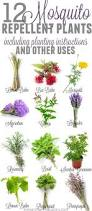 mosquito repelling plants homesteading pinterest mosquito