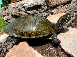 Ringed Map Turtle Meso American Slider Wikipedia