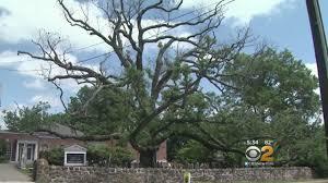 White Oak White Oak Dying In Basking Ridge Youtube