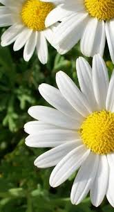 Daisy The Flower - 126 best daisies the friendly flower images on pinterest