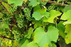 How To Grow Grapes In Your Backyard by How To Grow Grapes How To Grow Stuff