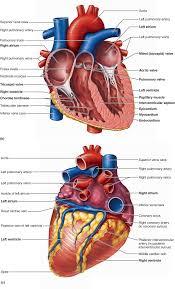 view the anatomical models figure 30 2 a b chegg com