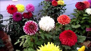 dahlias flowers flower exhibition at kolkata 2016 dahlia flower