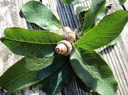 White Oak Mexican White Oak Barely Native