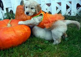 Family Halloween Costumes With Dog by Three Puppies Pose In Halloween Costumes Plein Air In Maine