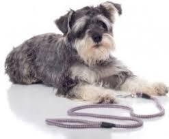 mini schnauzer haircut styles training mini schnauzer feisty adorable and lovable dogs