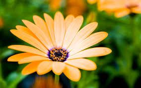 wallpaper daffodils yellow 4k flowers 5012