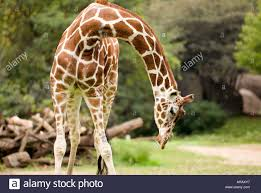giraffe bending over stock photo royalty free image 9140790 alamy