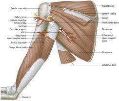 Innervation Of Supraspinatus Brachial Plexus Clinical Gate
