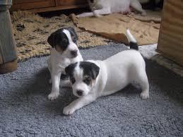 Tierheim Bad Salzuflen Hunde Hunde ähnlich Jack Russell Terrier Hunde Nach Typ Hunde