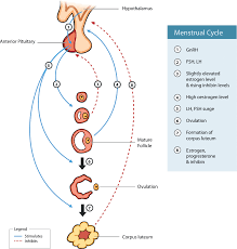 ovulation and regulation of the menstrual cycle