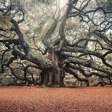 best 25 oak tree ideas on trees beautiful oak