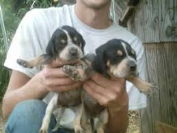 bluetick coonhound in florida black and tan coonhound puppies for sale