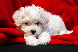 bichon frise good and bad dog tear stains how to prevent them american kennel club