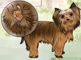 yorkie hair cut chart how to groom a yorkshire terrier with pictures wikihow