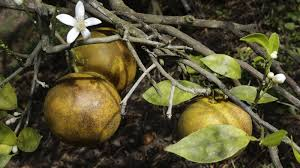 time is running out to save florida u0027s oranges the salt npr