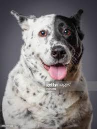 australian shepherd queensland heeler mix pictures blue heeler dogs stock photos and pictures getty images