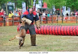 belgian malinois k9 attack belgian malinois military working dog stock photos u0026 belgian