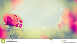 poppy flowers on blurred nature background banner stock photo