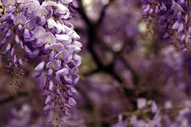 Flowersbybillbush Montreal Postal Code Map - wisteria how to plant grow and care for wisteria vines the