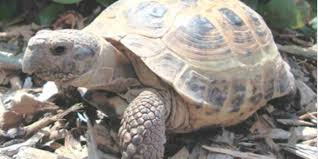 missing russian tortoise mysteriously returns to oshkosh u0027s