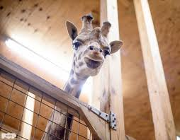 watch live zoo says april the giraffe may give birth soon wnep com