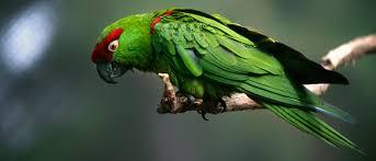 thick billed parrots u2013 zoonooz