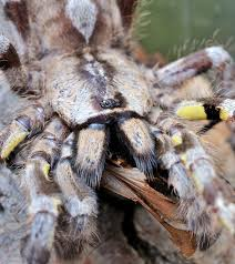 tarantula bites more harmful than thought