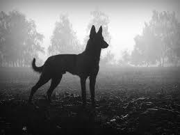 belgian malinois size at 6 months best 25 dutch shepherd breeders ideas on pinterest black german
