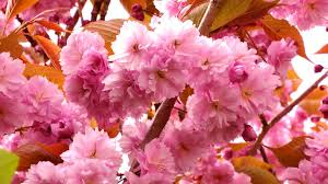 blossom trees cherry blossom trees free stock photo public domain pictures