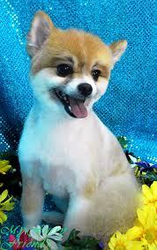 american eskimo dog short hair pet grooming the good the bad u0026 the furry grooming pomeranians