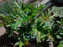 philodendron made 6 in my top ten heat resistant plants for