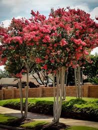 Trees With Pink Flowers Buy Flowering Trees Online The Tree Center