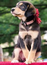 australian shepherd lab mix for sale best 25 australian shepherd dogs ideas on pinterest do