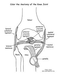 100 best anatomy images on pinterest coloring pages human