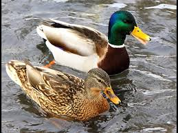 where can i buy duck duck calls android apps on play