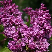 syringa mrs edward harding lilac tree mail order trees