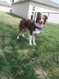 5 month old mini australian shepherd my aussie has a thin coat