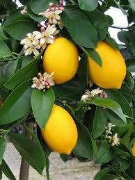 Transplant Fruit Trees - gardening transplanting citrus trees takes care and effort but