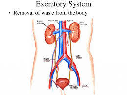excretory system organs human anatomy library
