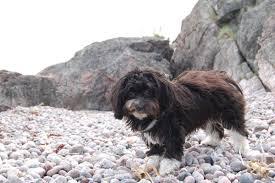 affenpinscher vs german shepherd havanese information dog breeds at dogthelove