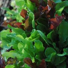 best 25 how to plant lettuce ideas on pinterest how to regrow