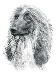 afghan hound speed afghan hound