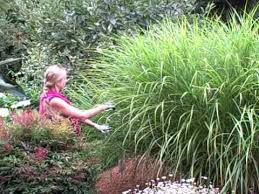 pruning miscanthus ornamental grass for size