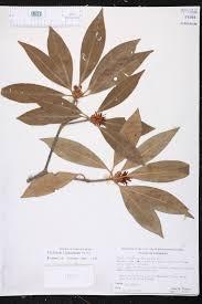native plants of louisiana illicium floridanum species page isb atlas of florida plants