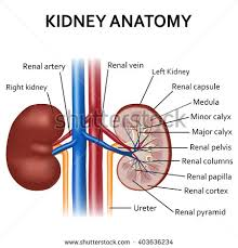 Kidney Anatomy And Physiology Video Kidney Anatomy Stock Images Royalty Free Images U0026 Vectors